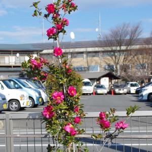 本部駐車場に咲いたツバキ (2016年1月)